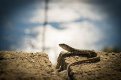 Lizard on a wall. A lizard on a wall with sea on the background Royalty Free Stock Photo