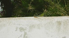 Lizard on a wall version 1 stock photography