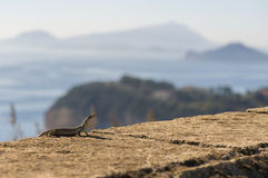 Lizard. A Lizard on a wall with the view of Miseno, Naples, Italy Stock Image