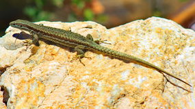 Lizard warming on a rock Stock Images