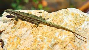 Lizard warming on a rock. Green lizard warming on a rock Stock Images