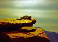 Lizard Warming on the Rocks Stock Photo