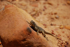 Lizard warming in the sun Royalty Free Stock Photography