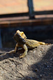 Lizard Warming Up On a Rock in the Sun Royalty Free Stock Image