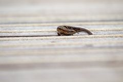 Lizard warming up on wooden floor Royalty Free Stock Photos