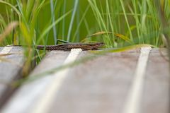 Lizard warming up on wooden floor Royalty Free Stock Images