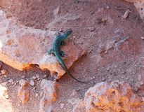 Lizard. A lizard warms up on the rocks Stock Image