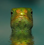 Lizard In The Water Royalty Free Stock Photos