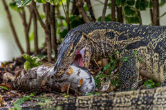 Lizard (Water monitor) is large lizard eating fish. Lizard (Water monitor or Asian water monitor) is a large lizard is type reptile eating a fish at nature Stock Image