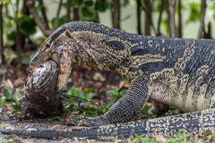 Lizard (Water monitor) is large lizard eating fish. Lizard (Water monitor or Asian water monitor) is a large lizard is type reptile eating a fish at nature Stock Photography