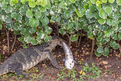 Lizard (Water monitor) is large lizard eating fish. Lizard (Water monitor or Asian water monitor) is a large lizard is type reptile eating a fish at nature Stock Images