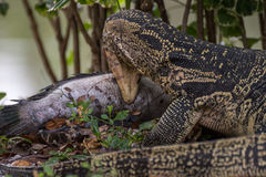 Lizard (Water monitor) is large lizard eating fish. Lizard (Water monitor or Asian water monitor) is a large lizard is type reptile eating a fish at nature Royalty Free Stock Photo
