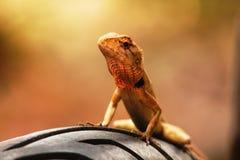 Lizard on the wheel Stock Image