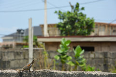 Lizard. Whiling away its time on a cement fence. sunny afternoon in lekki, lagos, Nigeria Royalty Free Stock Photography