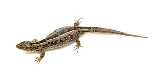 Lizard on white background Royalty Free Stock Image