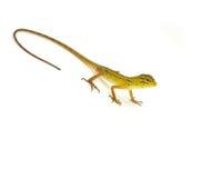 Lizard. On a white background Stock Photo