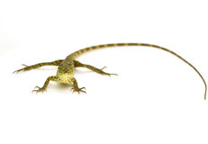Lizard. On a white background Royalty Free Stock Image