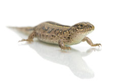 Lizard on white background close-up Stock Photos
