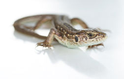 Lizard on a white background. Stock Image