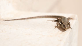 Lizard on white background Royalty Free Stock Photo