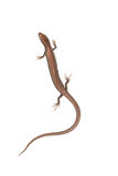 Lizard on a white background. Photo taken by professional camera and lens stock images