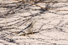 Lizard in White Sand NP Royalty Free Stock Photos