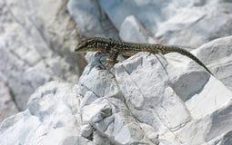 Lizard on white stone Stock Photos