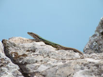Lizard wild against the sky Royalty Free Stock Photography
