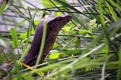 Lizard in the wild Borneo Stock Photos