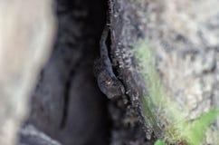 Lizard. Wild Lizard climbs on rock Stock Images