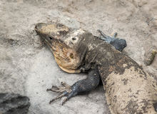 Lizard. Royalty Free Stock Images