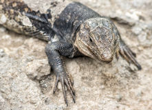Lizard. Stock Image