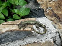 Lizard in the wild. In Manarola, june 2016, best place to holiday Stock Photos
