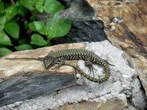 Lizard in the wild Stock Photos