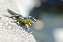 Lizard. In wild nature with head in focus Royalty Free Stock Photo