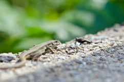 Lizard. In wild nature with head in focus preys on the fly Royalty Free Stock Image