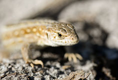 Lizard Royalty Free Stock Photo
