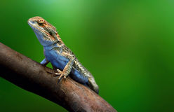 Lizard in wildlife sitting on the tree branch tropical island over green background Royalty Free Stock Photography