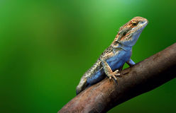 Lizard in wildlife on tree branch Stock Photos