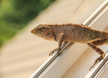 Lizard on the window Royalty Free Stock Photo