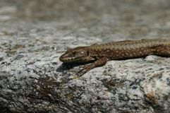 Lizard wisely gazes directly at observer and sits at stone rim. Royalty Free Stock Images
