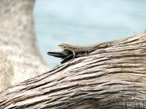 Lizard. On wood Stock Photo
