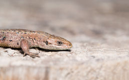 Lizard on wood surface Royalty Free Stock Photography