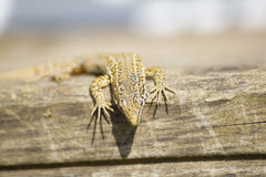 Lizard on Wood. There is a Lizard on some wooden Planks Stock Photography