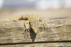 Lizard on Wood Stock Photography