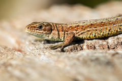 Lizard - wood Royalty Free Stock Photos