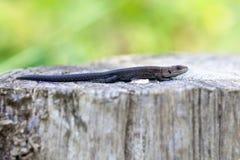 Lizard - wooden posts Stock Photo