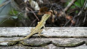 Lizard on the wooden roof stock video