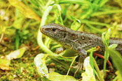 Lizard & x28;Lacerta agilis& x29; in a nature Stock Photos