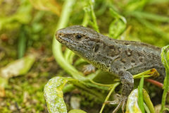 Lizard & x28;Lacerta agilis& x29; in a nature Stock Images